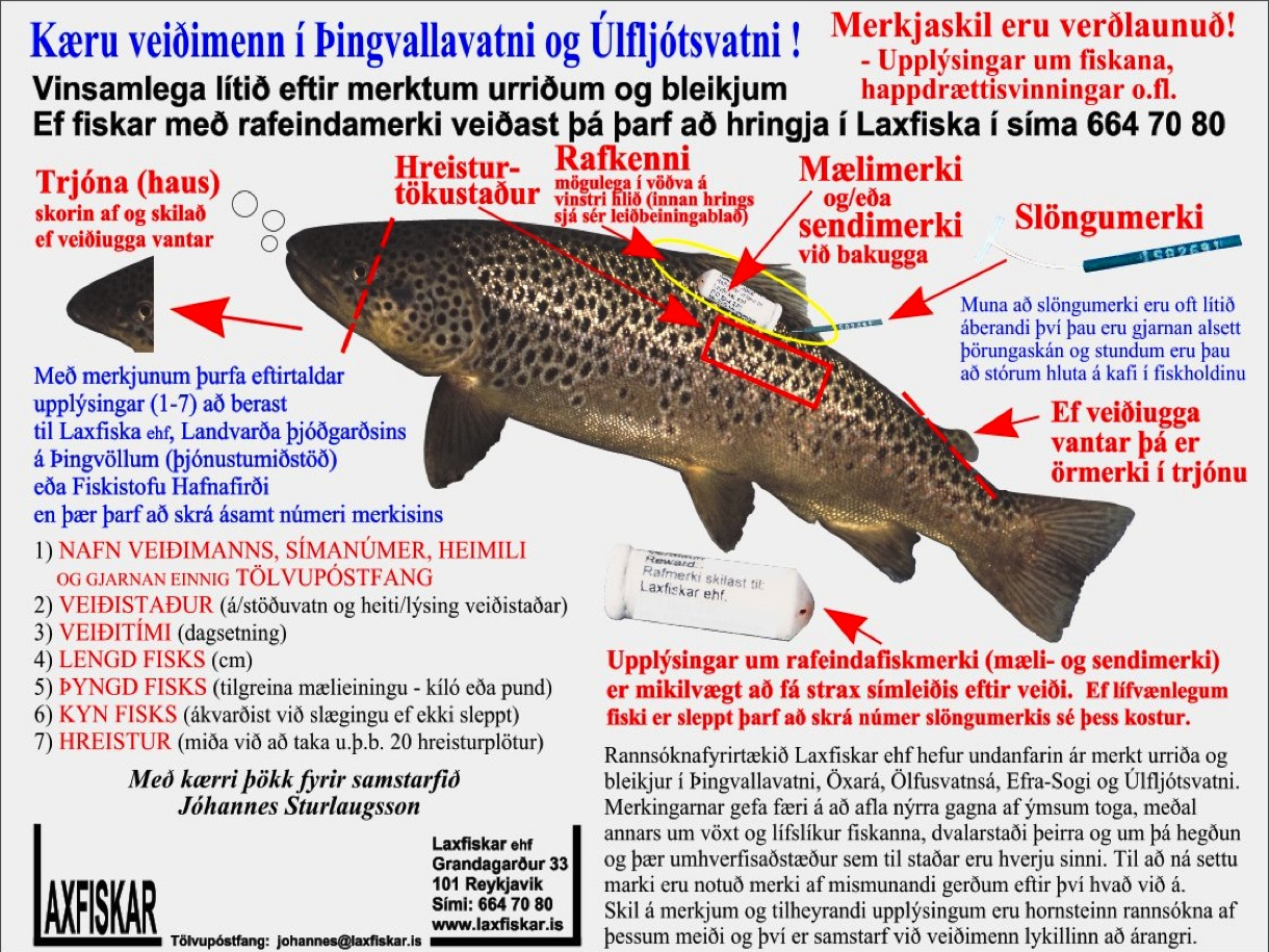 1_thingvallaurridi_fiskmerki_raf_maeli_hljod_slongu_merki_thingvallavatn_fish_tag-brown_trout-copyright_laxfiskar.is