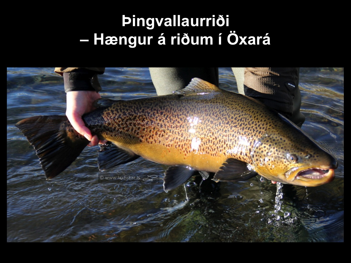 1_thingvallaurridi_haengur_storurridi_oxara_thingvallavatn_brown_trout_male_spawner-copyright-johannes_s_laxfiskar.is