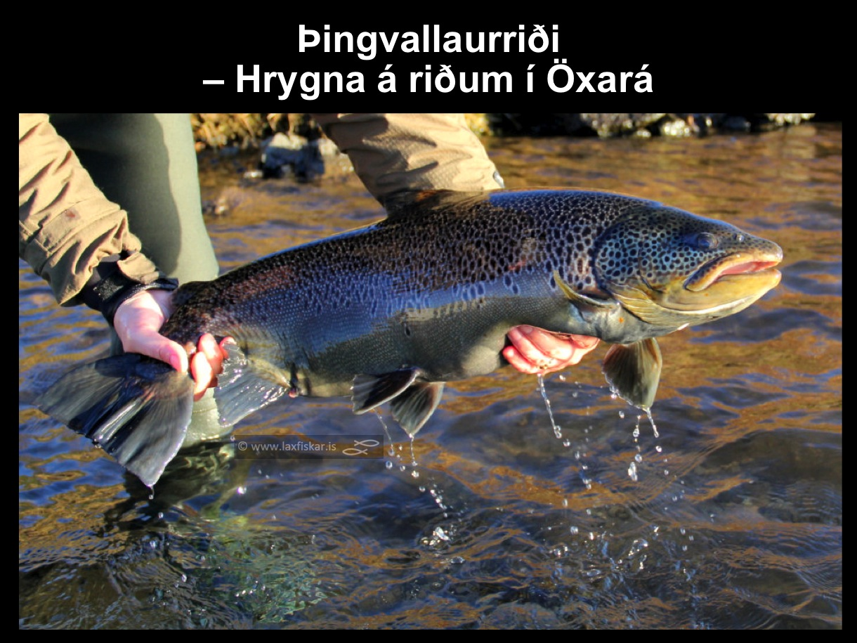 2_thingvallaurridi_hrygna_storurridi_oxara_thingvallavatn_brown_trout_female_spawner-copyright-johannes_s_laxfiskar.is