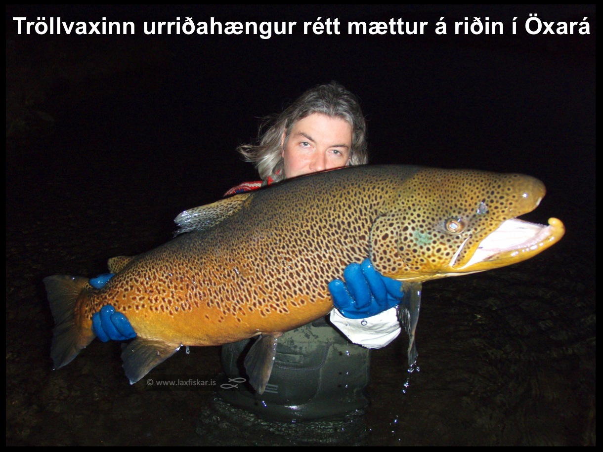 5_thingvallaurridi_stor_isaldarurridi_oxara_thingvallavatn_giant_record_brown_trout-johannes_sturlaugsson_laxfiskar.is
