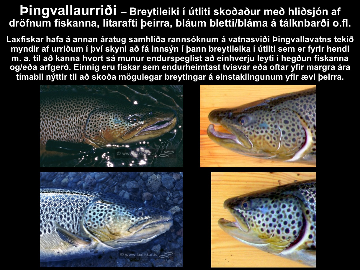 6_thingvallaurridi_storurridi_utlit_drofnur_litur_oxara_vatn_brown_trout_male_female_salmo_trutta-copyr.-js_laxfiskar.is