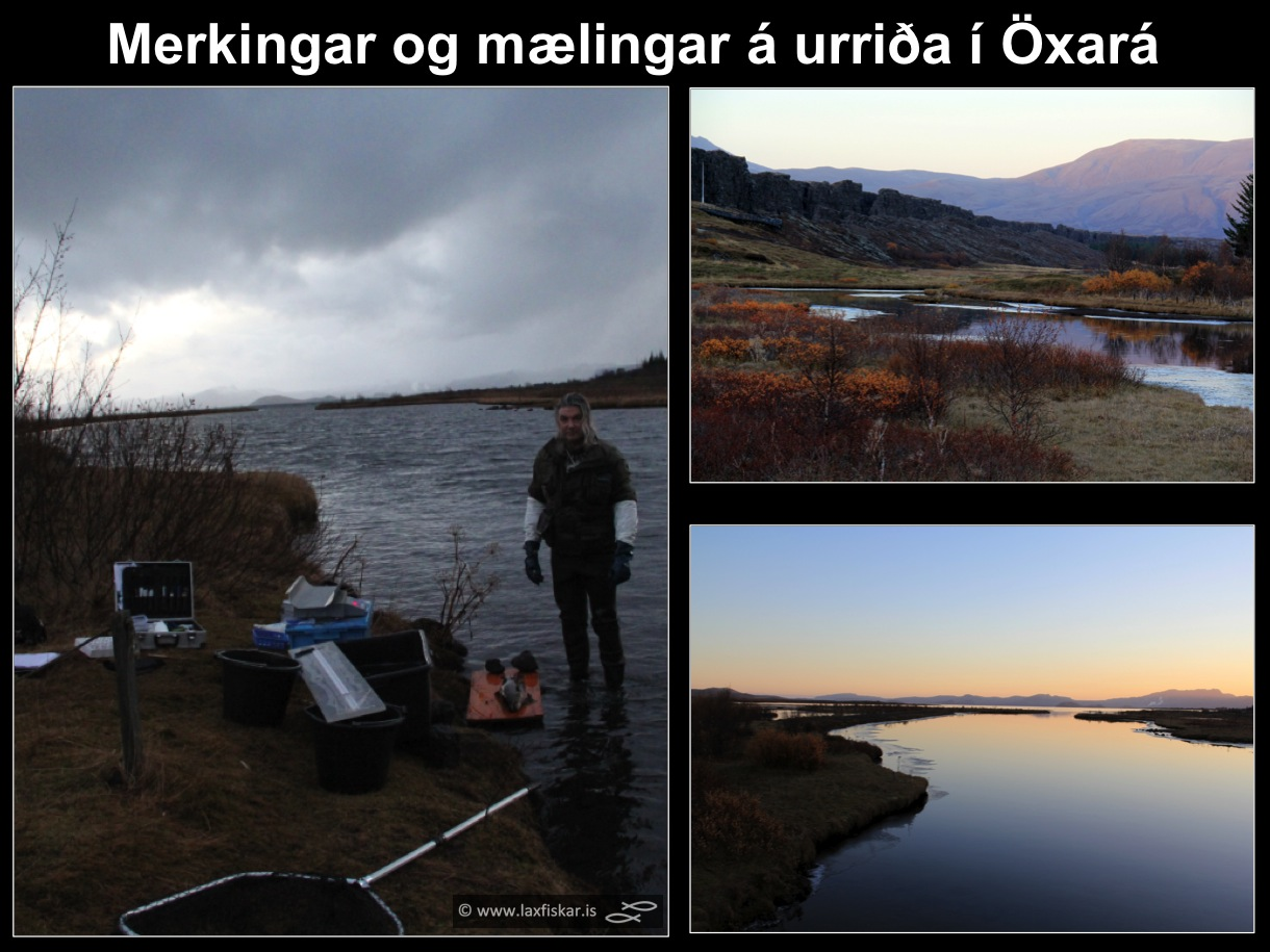 10_thingvallaurridi_rannsoknir_merkingar_oxara_thingvallavatn_research_study_tagging_brown_trout-copyright-laxfiskar.is