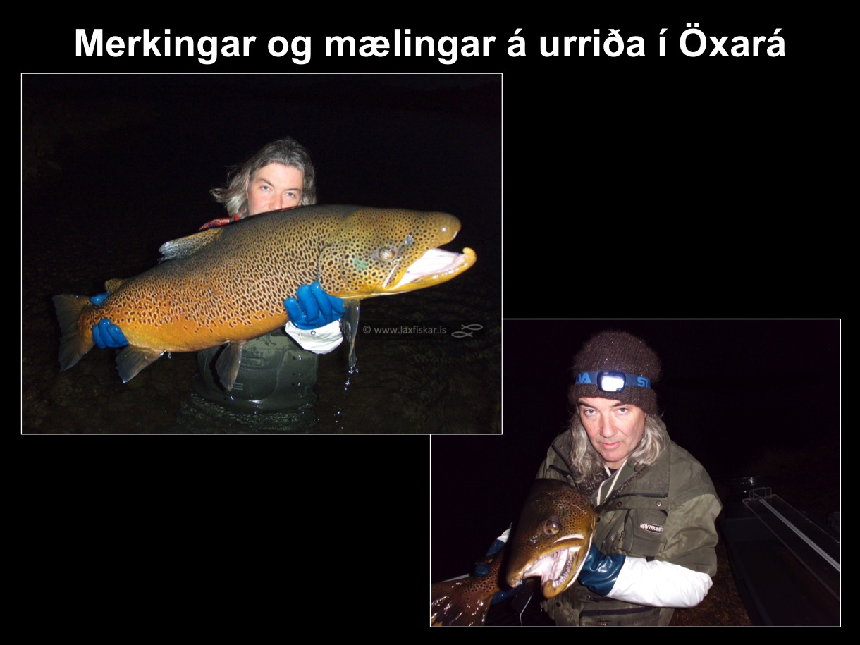 11_thingvallaurridi_rannsoknir_merkingar_oxara_thingvallavatn_research_study_tagging_brown_trout-copyright-laxfiskar.is