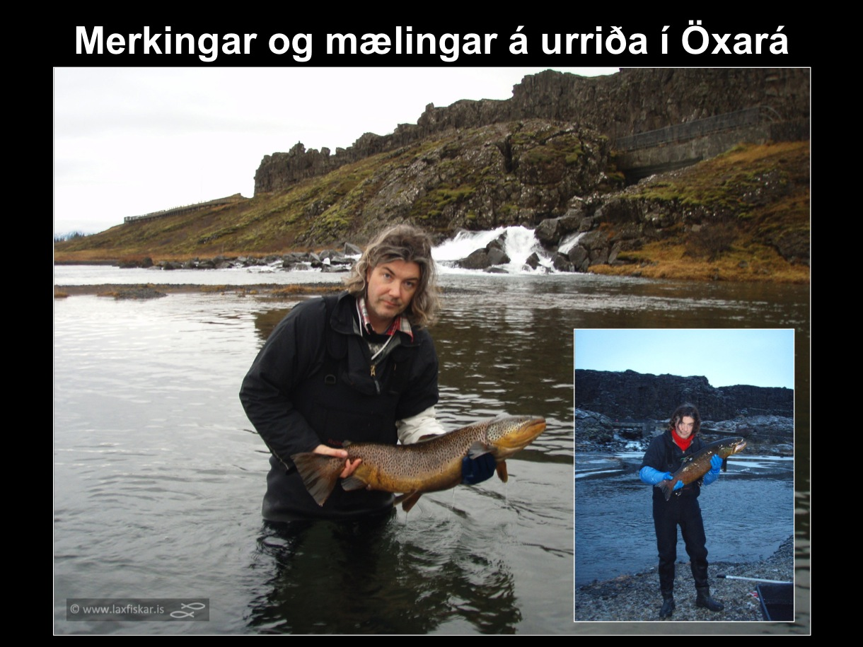 1_thingvallaurridi_rannsoknir_merkingar_oxara_thingvallavatn_research_study_tagging_brown_trout-copyright-laxfiskar.is