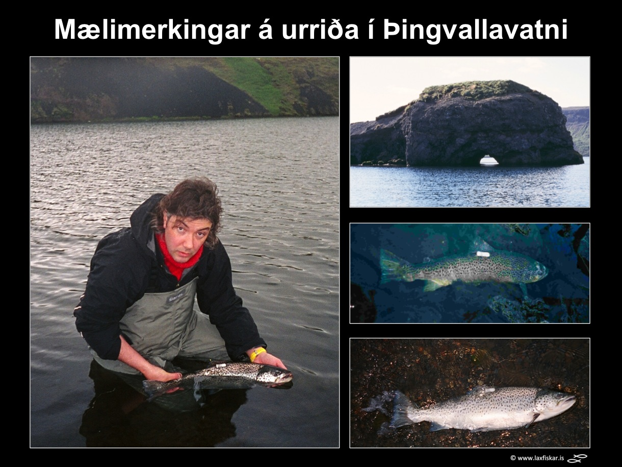 21_thingvallaurridi_rannsoknir_mlimerki_merkingar_thingvallavatn_dst_study_tagging_brown_trout-copyright-laxfiskar.is