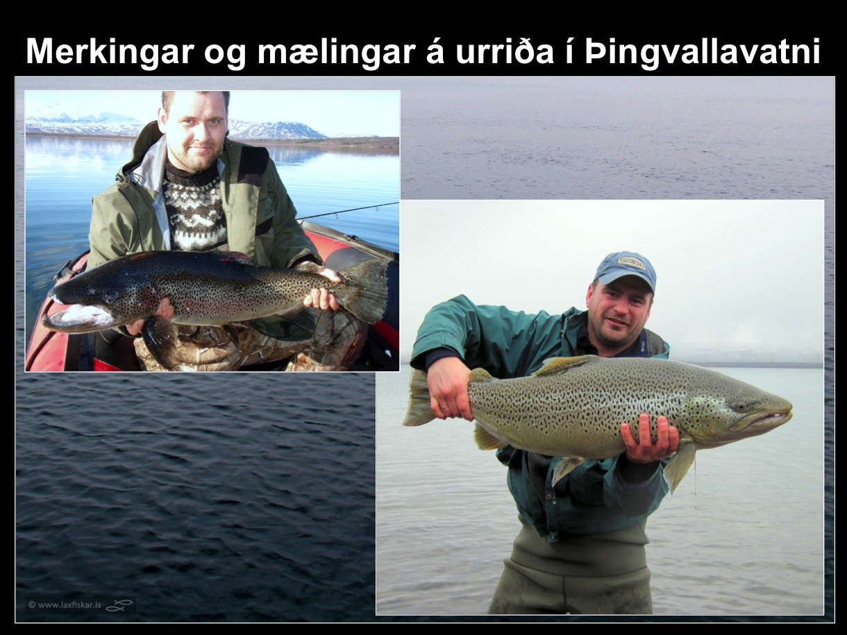 22_thingvallaurridi_merkingar_thingvallavatn_jon_ogmundsson_olafur_gudmundsson_brown_trout-copyright-laxfiskar.is