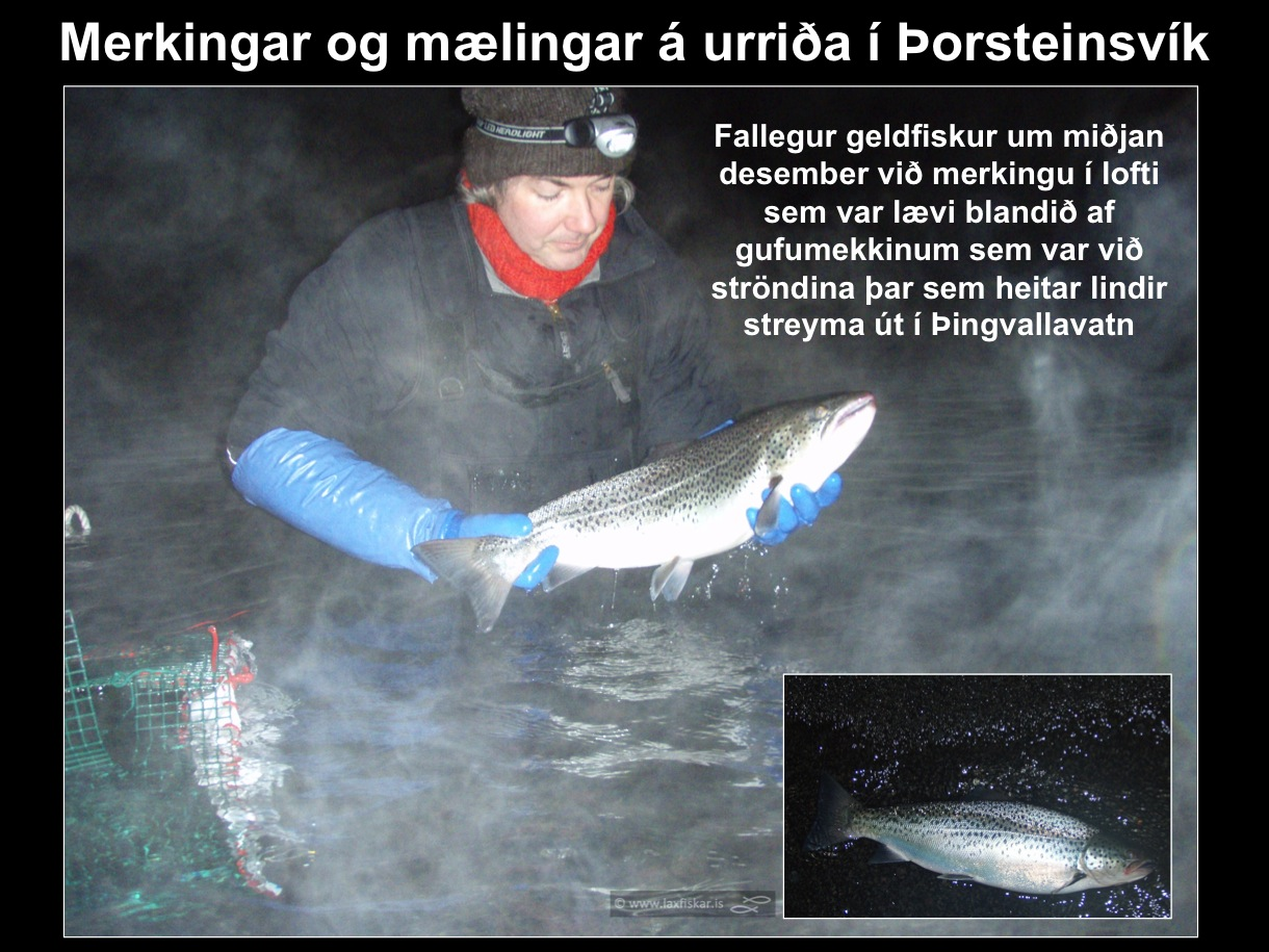 24_thingvallaurridi_rannsoknir_merkingar_thorsteinsvik_thingvallavatn_research_study_tagging_brown_trout-copyright-laxfiskar.is