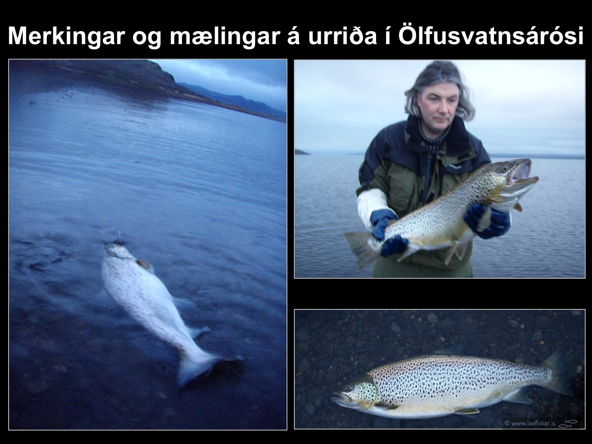 25_thingvallaurridi_rannsoknir_merkingar_olfusvatnsa_thingvallavatn_research_study_tagging_brown_trout-copyright-laxfiskar.is