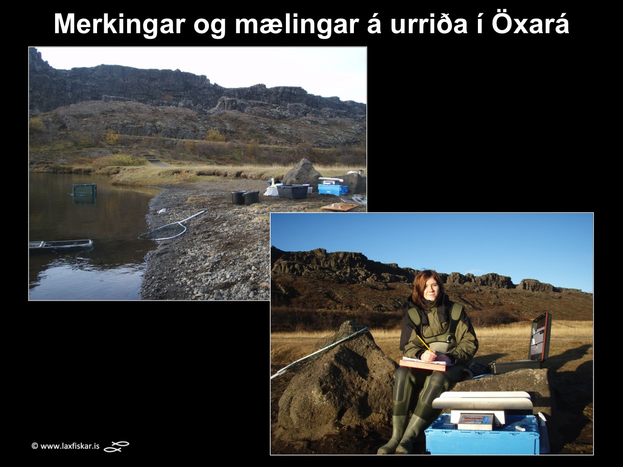 2_thingvallaurridi_rannsoknir_solrun_johannesdottir_oxara_thingvallavatn_study_tagging_brown_trout-copyright-laxfiskar.is