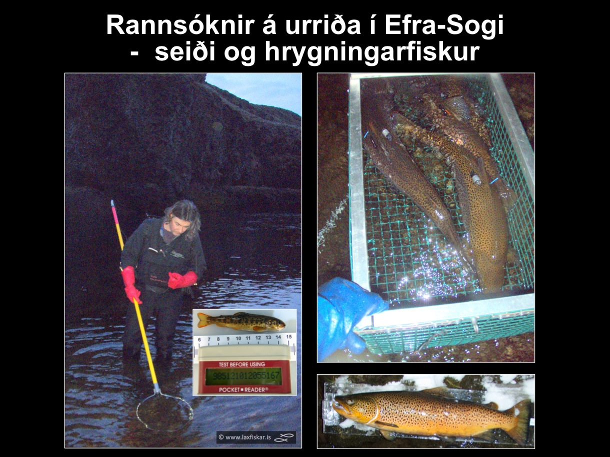 31_thingvallaurridi_rannsoknir_thingvallavatn_efra_sog_pit_aqustic_tags_brown_trout_spawners_juveniles-copyr.-laxfiskar.is
