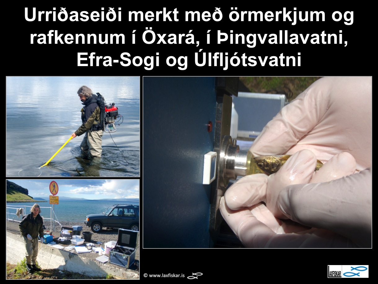 33_thingvallaurridi_rafveidar_seidi_thingvallavatn_electrofishing_microtagging_cwt_brown_trout_parr_-copyr.-laxfiskar.is