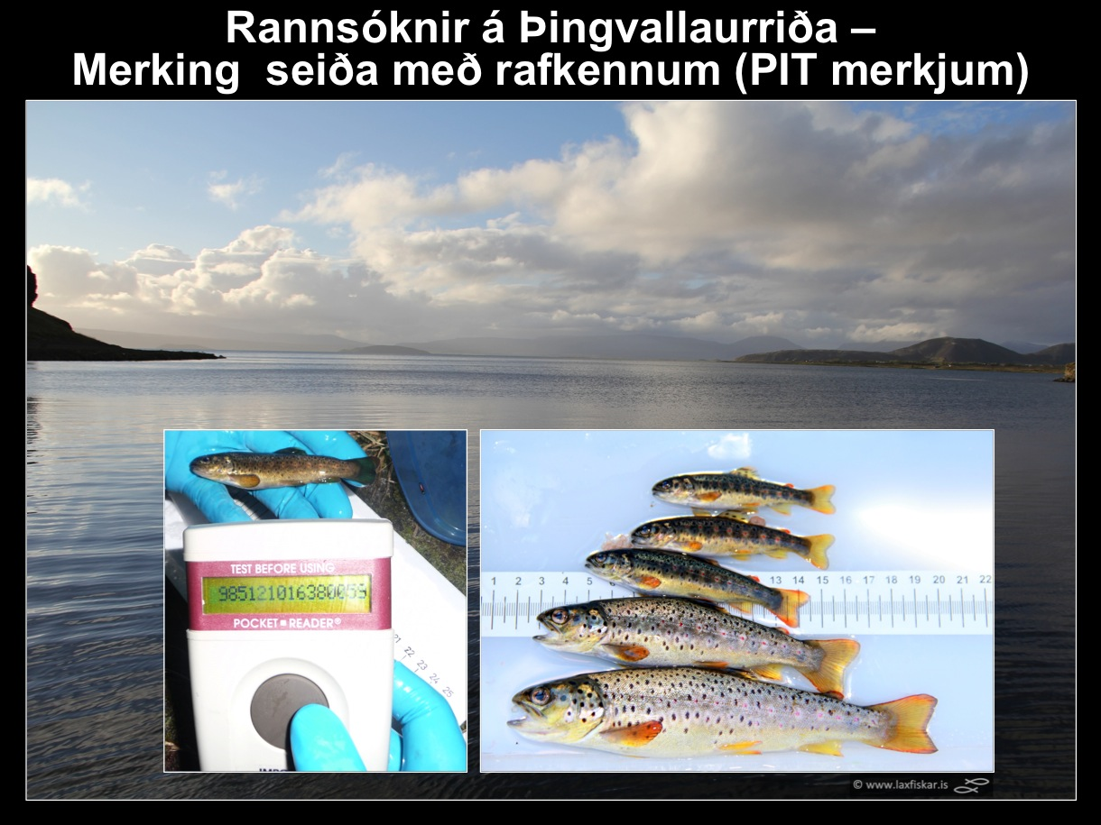34_thingvallaurridi_rannsoknir_thingvallavatn_efra_sog_pit_tags_brown_trout_parr_juveniles-copyr.-laxfiskar.is