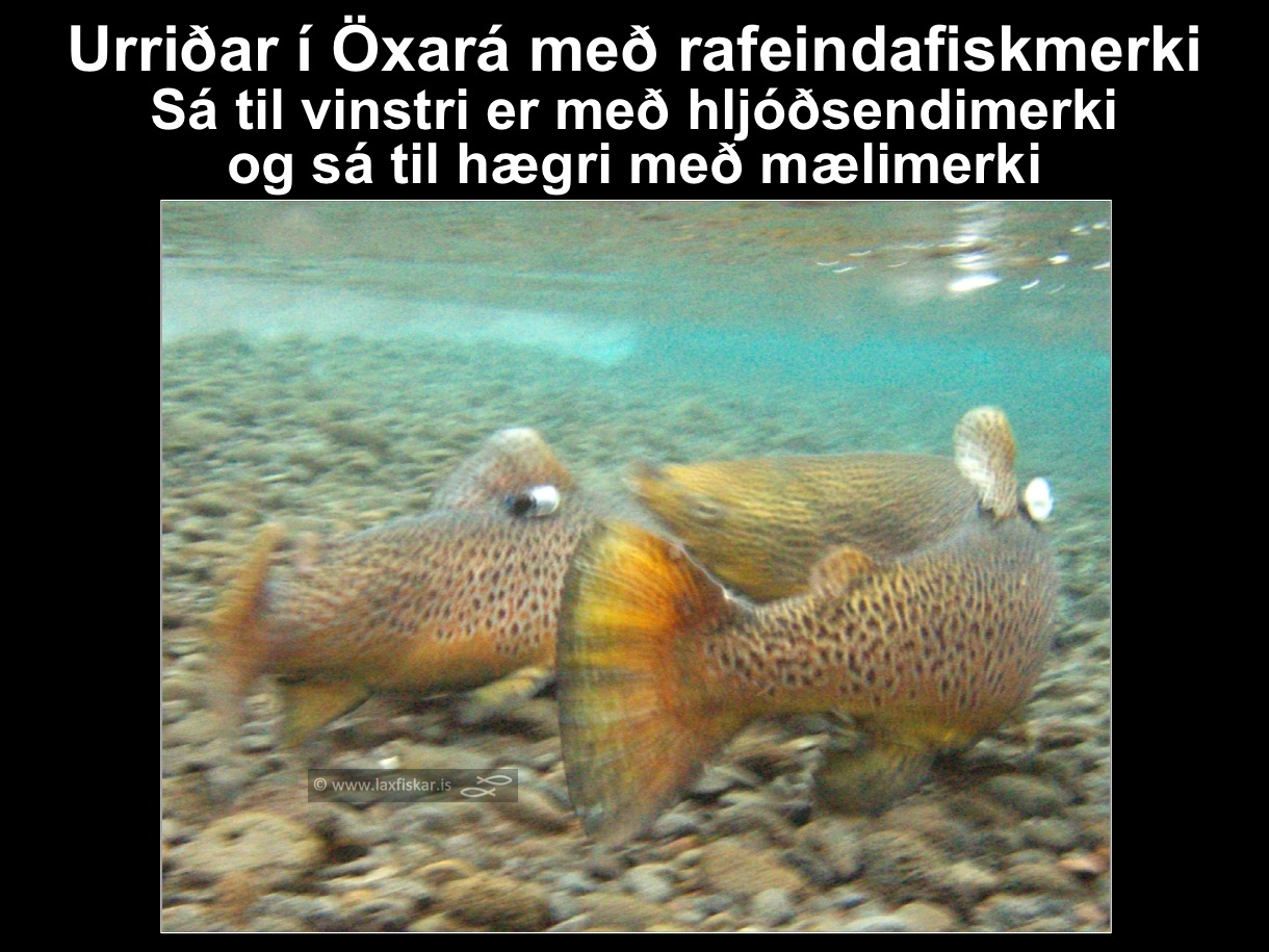 3_thingvallaurridi_rannsokn_fiskmerki_oxara_thingvallavatn_dst_ultrasonic_aqoustic_tag_brown_trout-copyright-laxfiskar.is