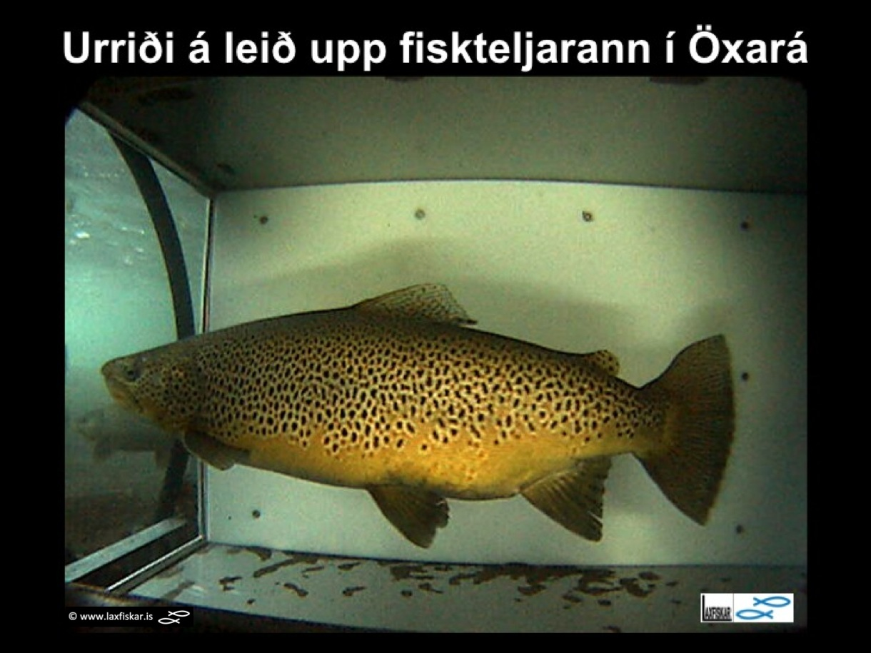 7_thingvallaurridi_rannsoknir_fiskteljari_oxara_thingvallavatn_video_fish_counter_brown_trout-copyright-laxfiskar.is