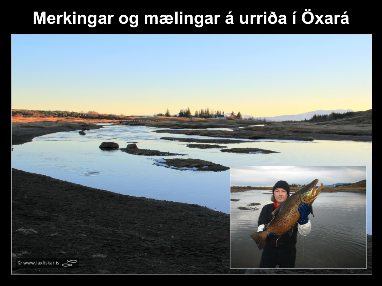 8_thingvallaurridi_rannsoknir_merkingar_oxara_thingvallavatn_research_study_tagging_brown_trout-copyright-laxfiskar.is