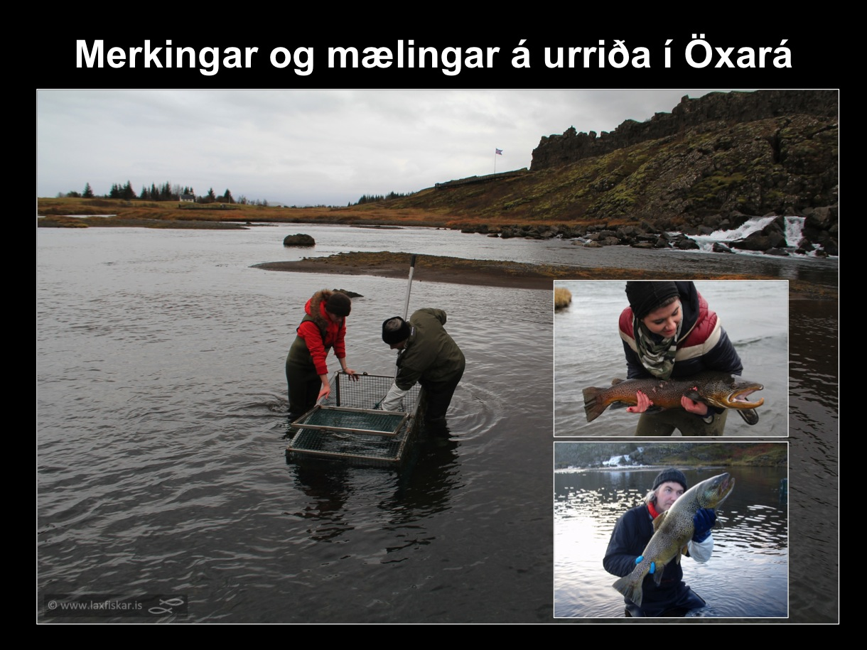 9_thingvallaurridi_rannsoknir_solrun_johannesdottir_oxara_thingvallavatn_tagging_study_brown_trout-copyright-laxfiskar.is