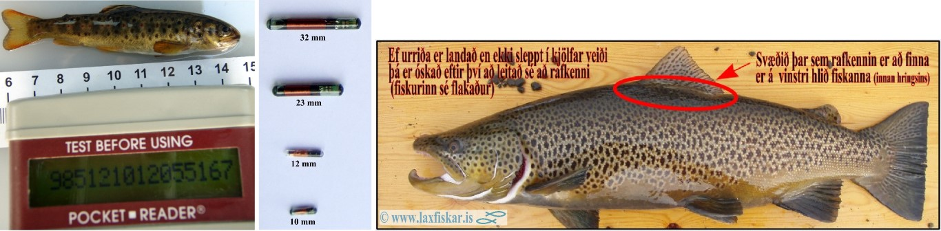 Rafkenni_Urridi-PIT_Brown_Trout_Copyright_Laxfiskar