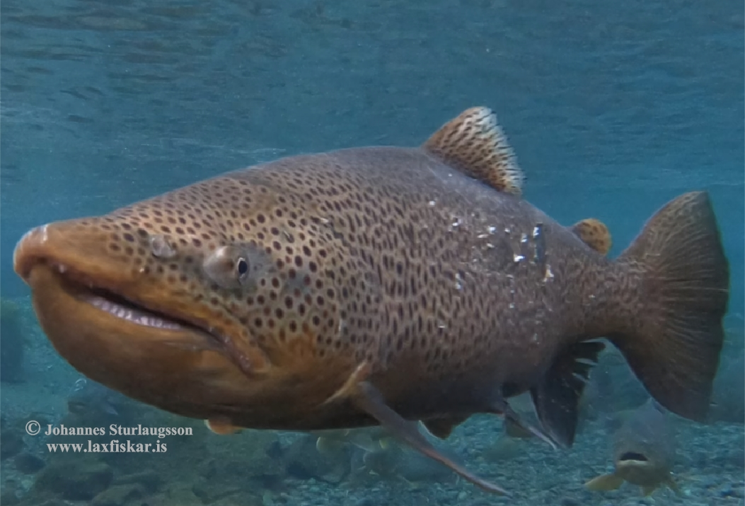 thingvallaurridi-brown_trout-salmo_trutta-copyright_johannes_sturlaugsson_laxfiskar