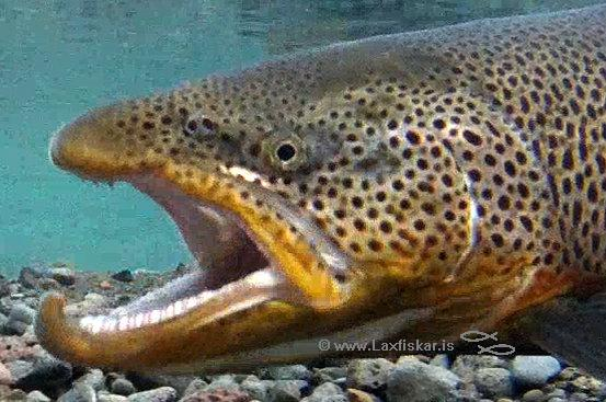 Urriði Öxará Þingvallavatn Brown trout Oxara Lake Thingvallavatn Copyright logo gra Laxfiskar.is