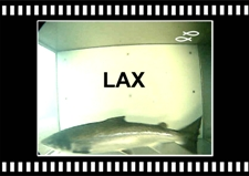 Lax-Atlantic-Salmon-Tungulaekur-Copyright-Laxfiskar.is-225x159