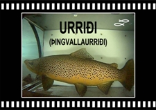 Urriði hrygna hængur Brown trout Oxara Lake Thingvallavatn Copyright Laxfiskar